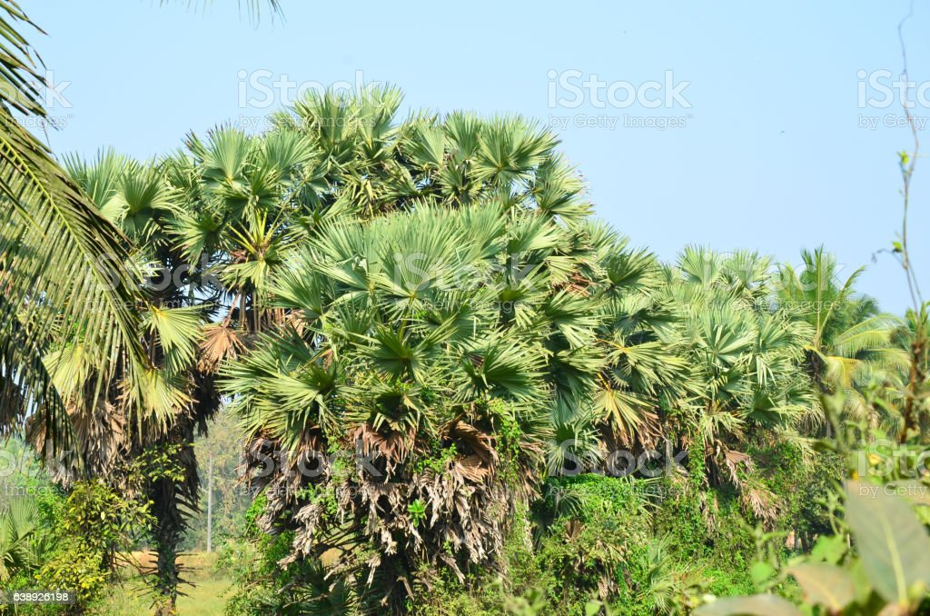 Palmyra or Toddy Palm stock photo