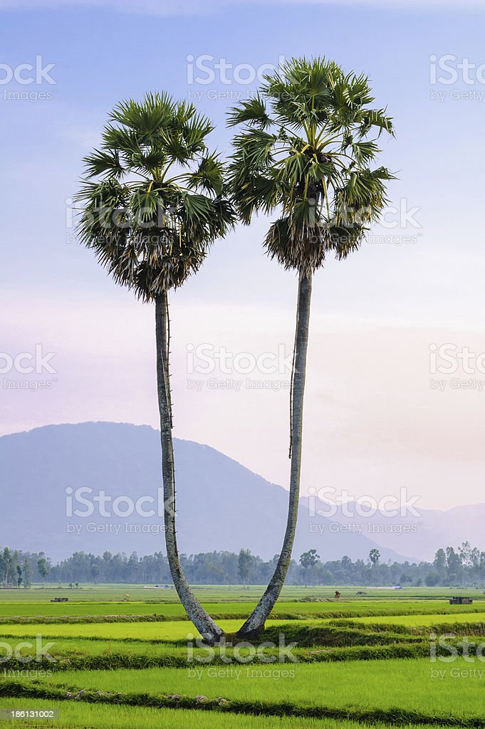 Palmyra trees on the rice field, An Giang royalty-free stock photo