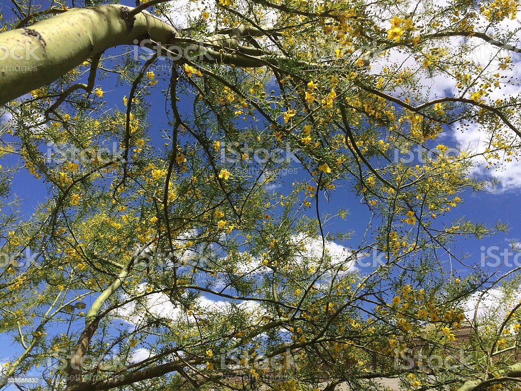 Palo Verde Blooming stock photo