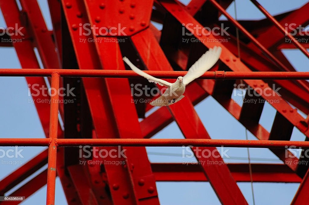 paloma blanca volando royalty-free stock photo