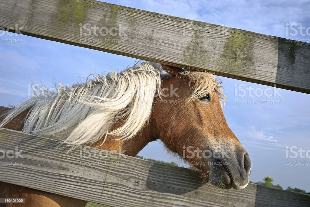 Palomino horse at fence stock photo
