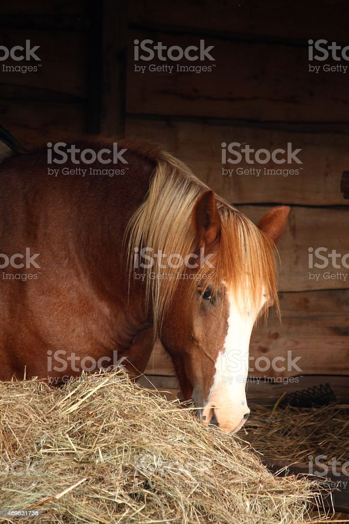Palomino horse eating yellow hay stock photo
