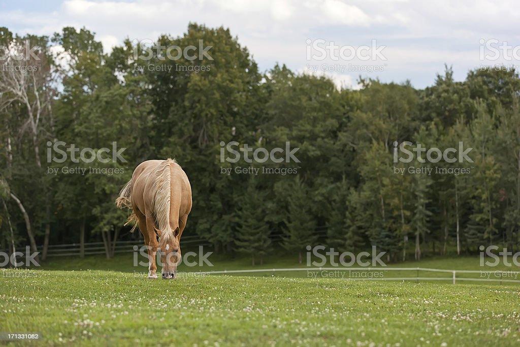 Palomino Horse Grazing in Pasture stock photo