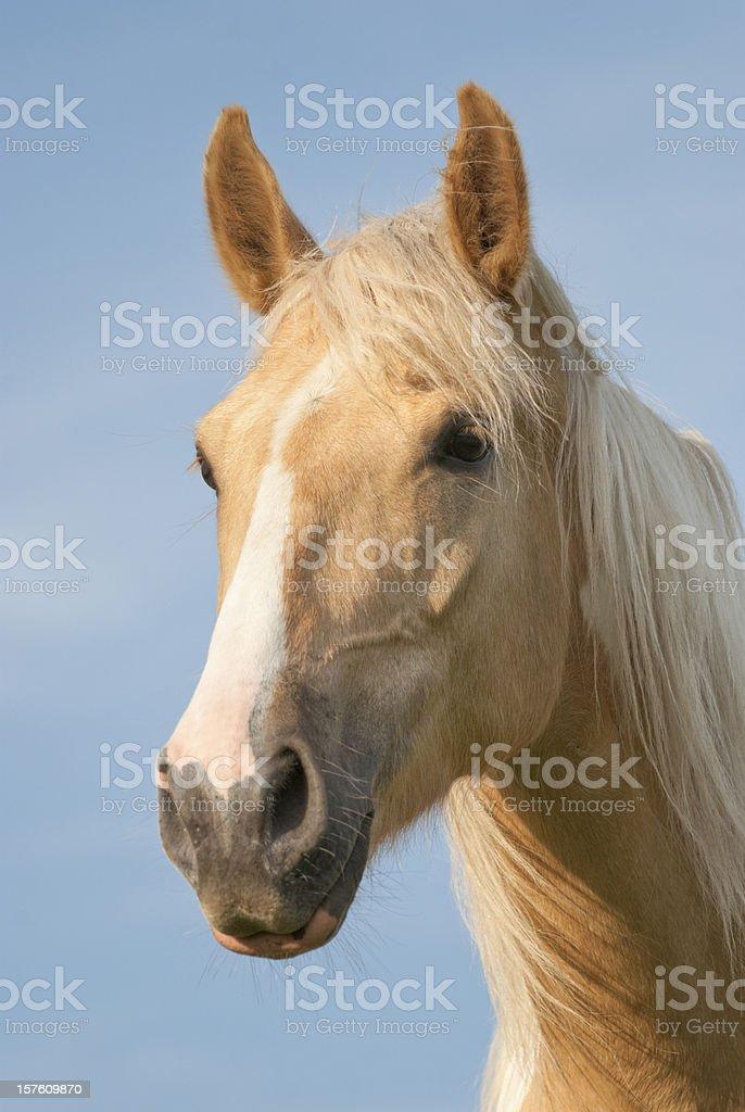 Palomino Horse Head Shot with Windblown Mane Hair stock photo
