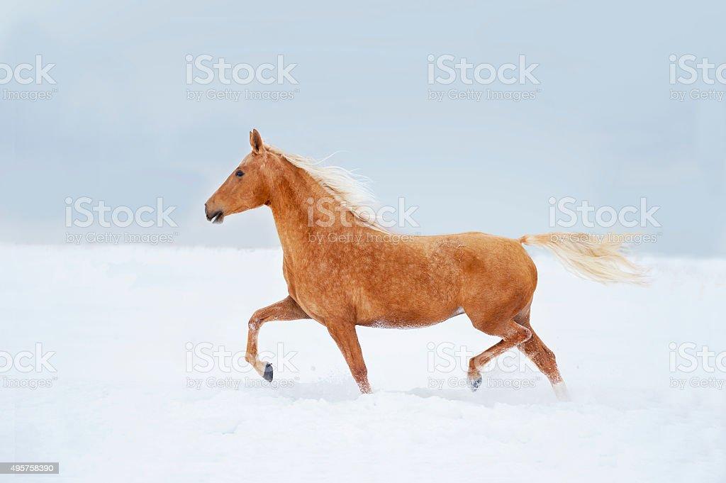 palomino horse in snow desert runs free stock photo