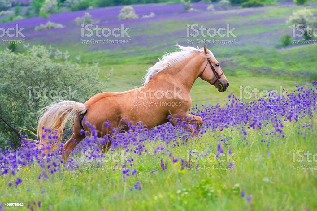 Palomino horse run stock photo