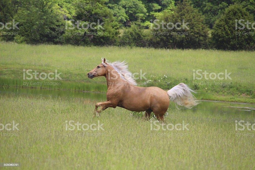 Palomino Horse Running stock photo