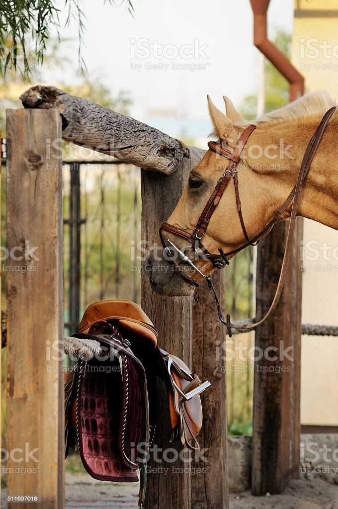 Palomino horse with equipment near stock photo