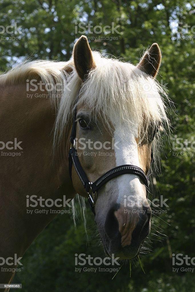palomino pony royalty-free stock photo