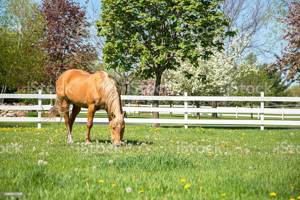 Palomino Quarter Horse Grazing in Springtime Pasture stock photo