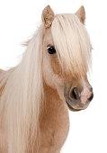 Palomino Shetland pony, Equus caballus, 3 years old,