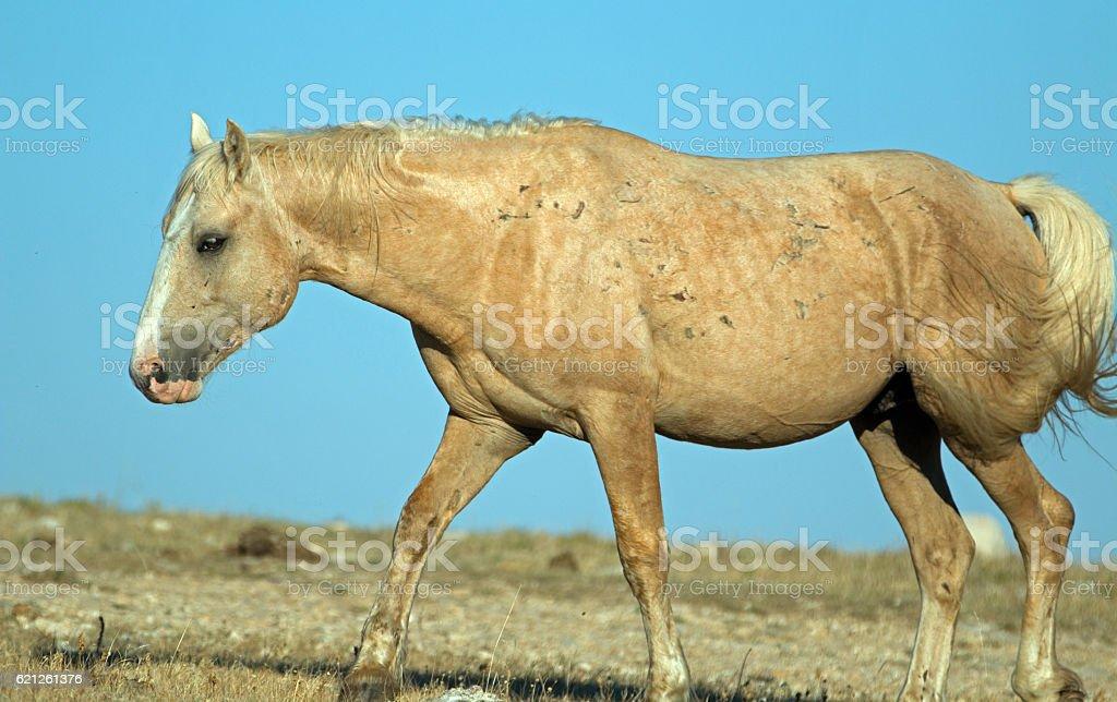 Palomino Wild Horse Stallion in Pryor Mountains Montana USA stock photo