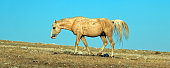 Palomino Wild Horse Stallion in Pryor Mountains Montana USA