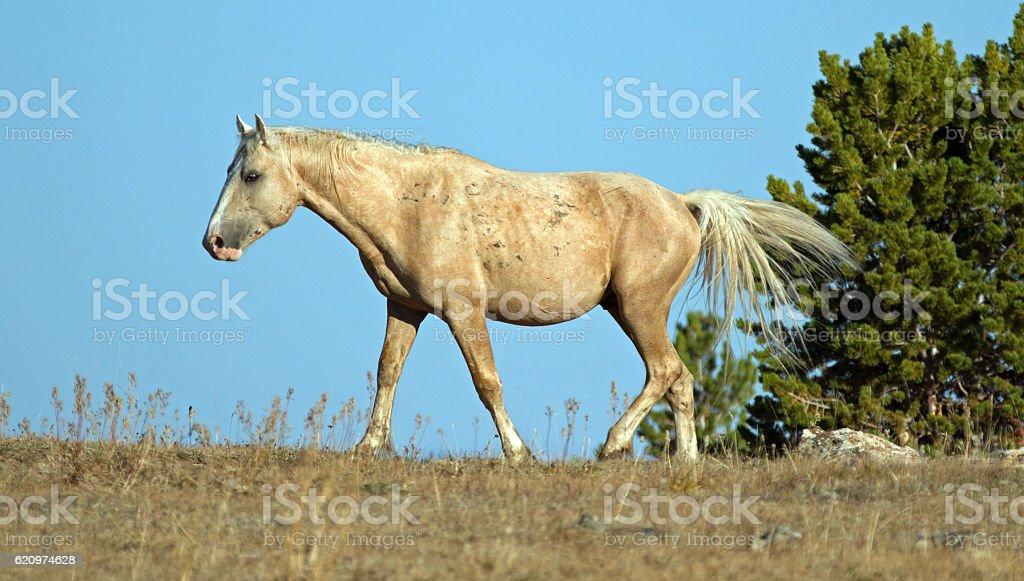 Palomino Wild Horse Stallion in Pryor Mountains stock photo