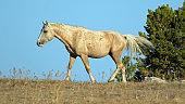 Palomino Wild Horse Stallion in Pryor Mountains