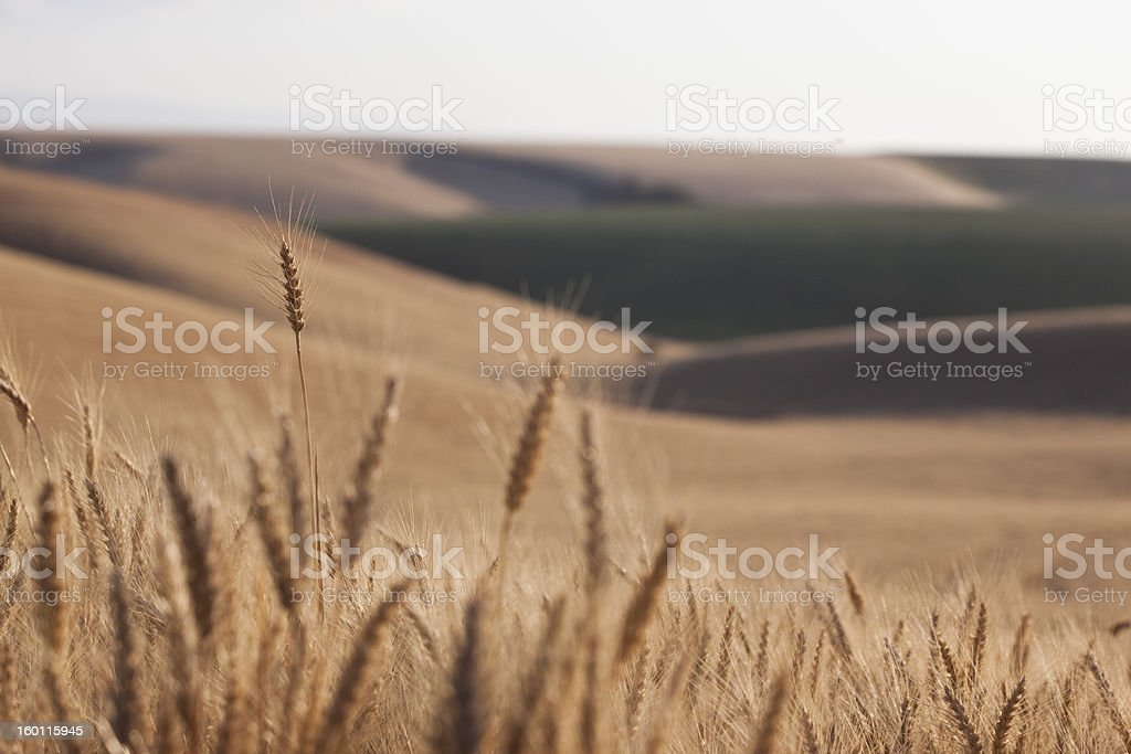 Palouse wheat field royalty-free stock photo
