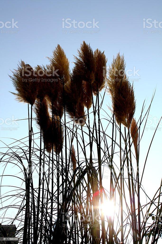 Pampa grass stock photo