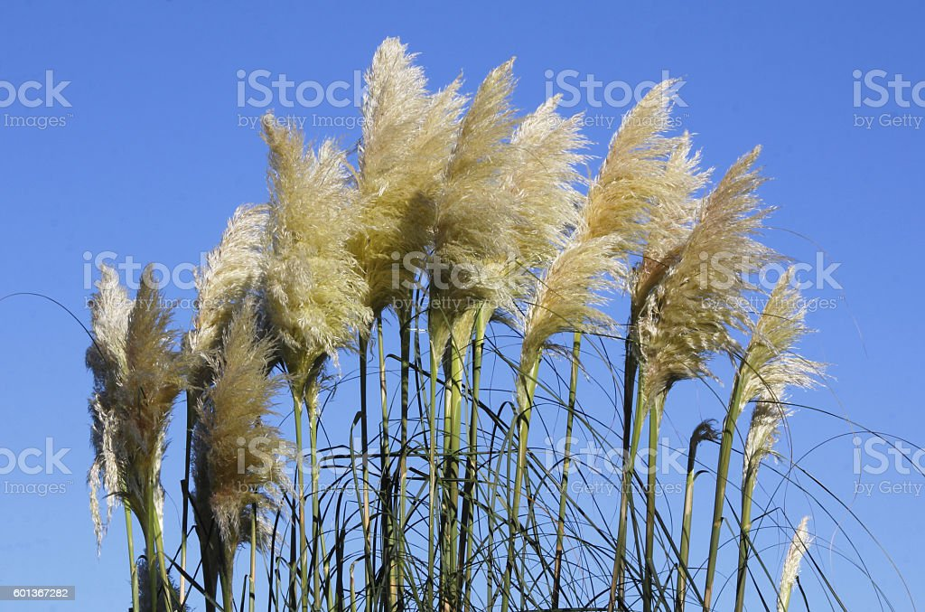 Pampas Grass and Blue Sky Backdrop stock photo