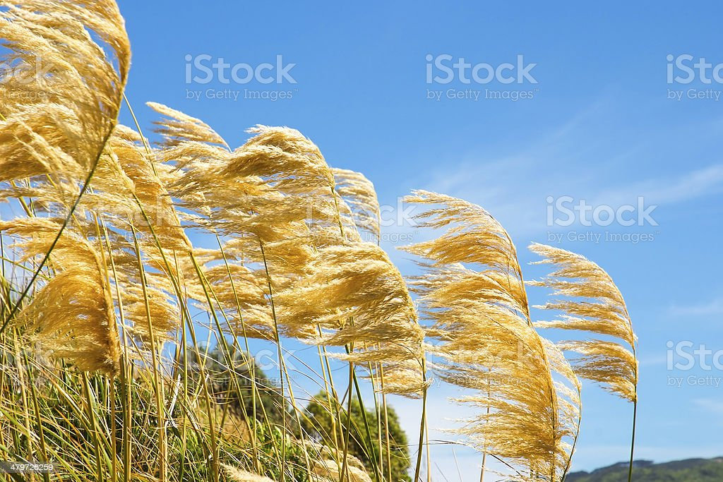 pampas grass blowing in the wind against a blue sky stock photo