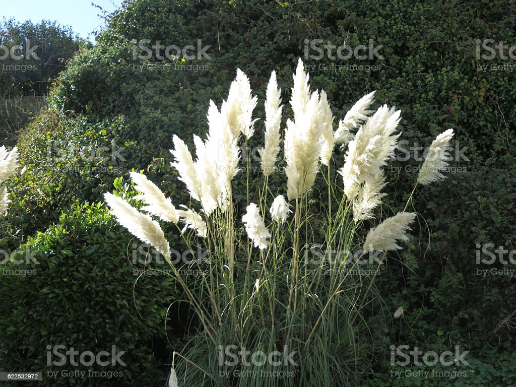 pampas grass in sunshine stock photo
