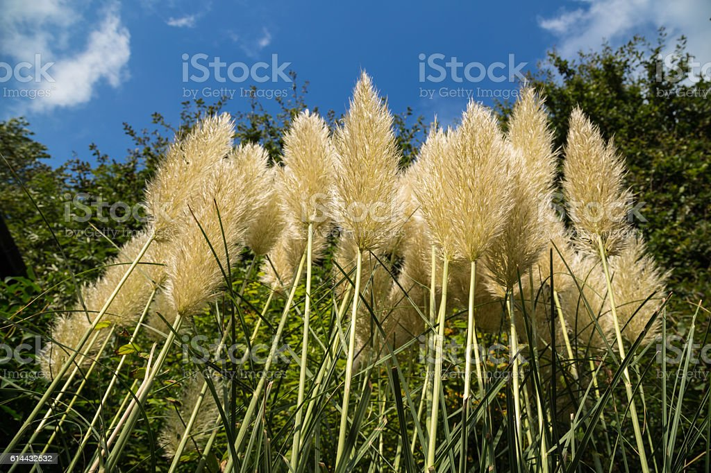 Pampas grass in the morning sunshine stock photo
