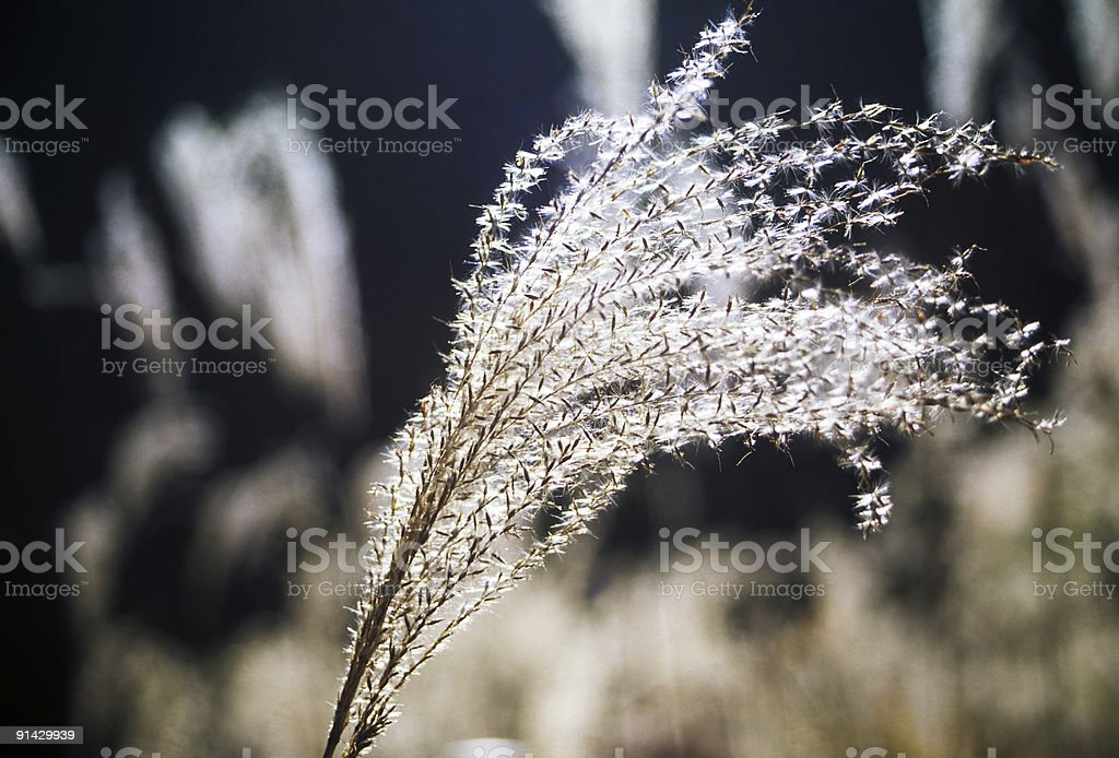 Pampas grass of autumn royalty-free stock photo