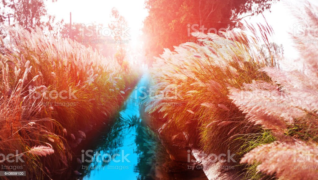 Pampas grass on water canal stock photo