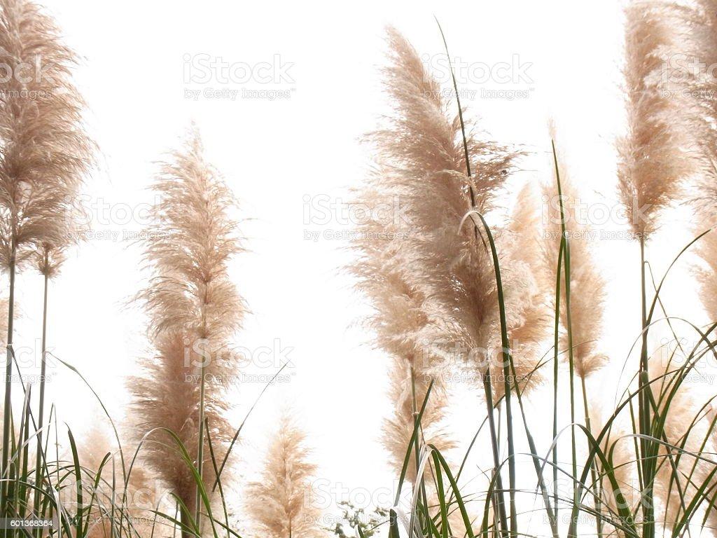 Herbe de la Pampa photo libre de droits