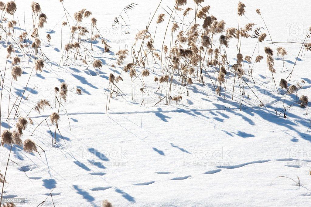 pampas grass; snowfields; stock photo