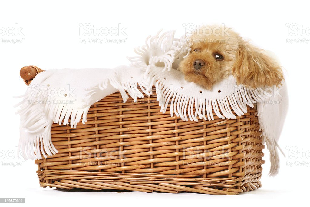 pampered pooch royalty-free stock photo