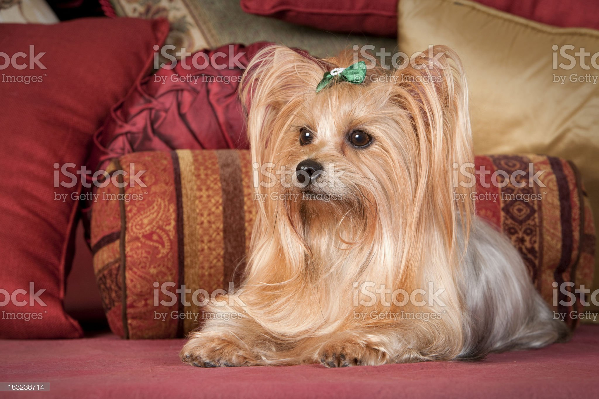 Pampered Yorkie with Long Flowing Hair royalty-free stock photo