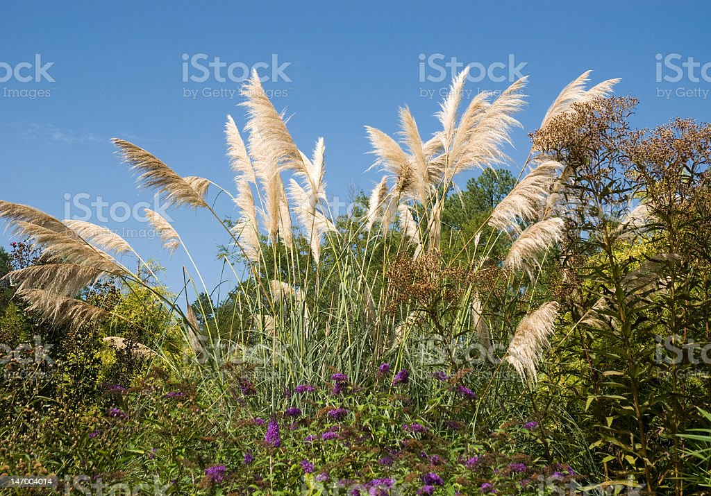 Pampus Grass Against a Blue Sky royalty-free stock photo