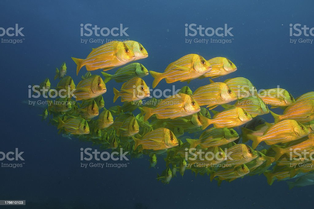 Panamic porkfish (Anisostremus taeniatus) royalty-free stock photo