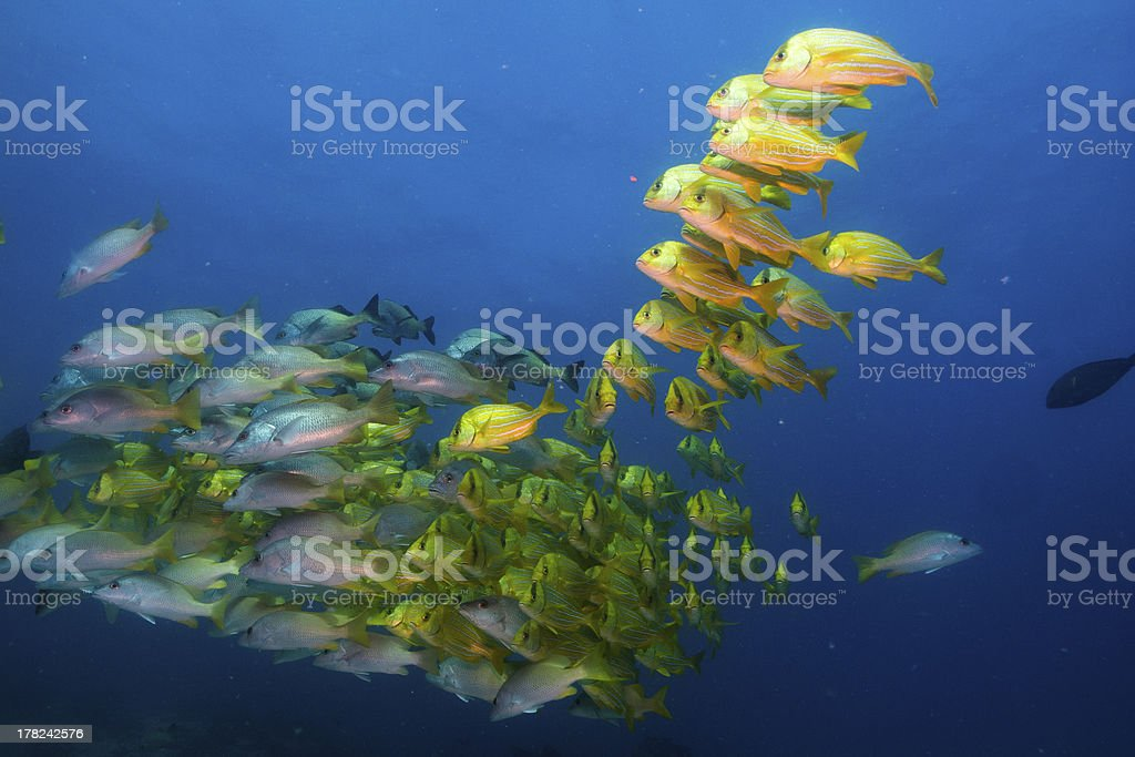 Panamic porkfish (Anisostremus taeniatus) stock photo