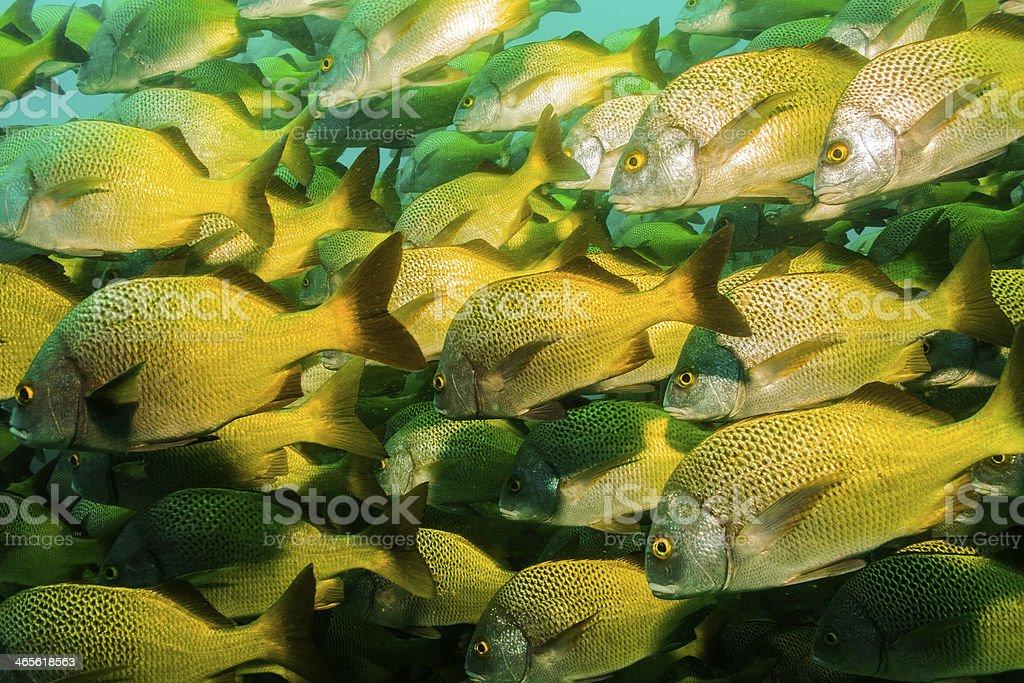Panamic porkfish (Anisostremus taeniatus) royalty-free stock photo