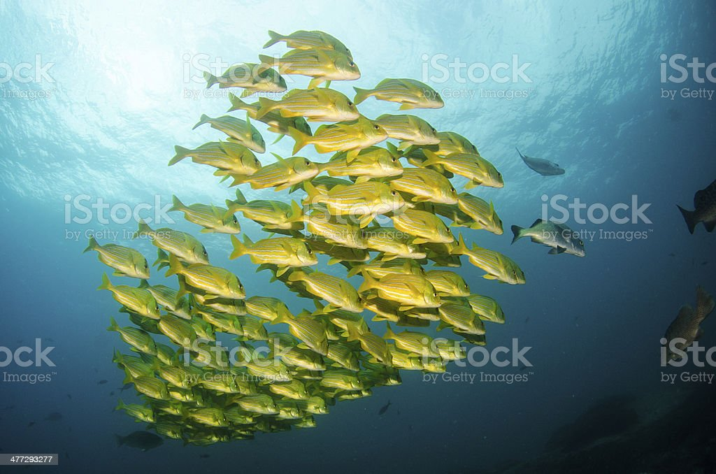 Panamic Porkfish stock photo