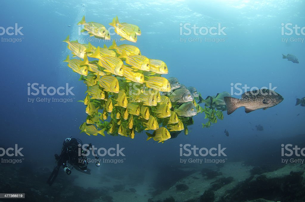 Panamic Porkfish stock photo
