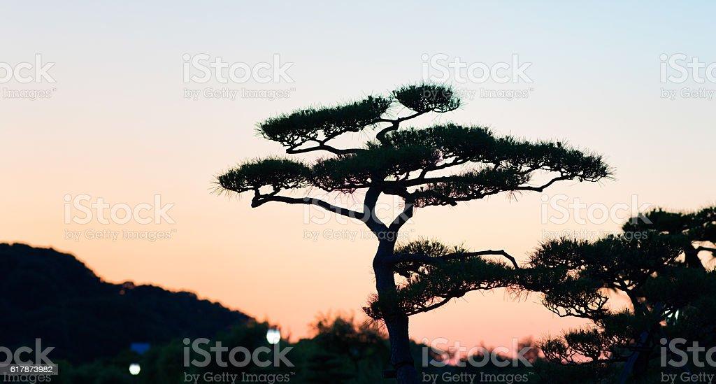 Pananese pine treetop silhouette at sunset panorama stock photo