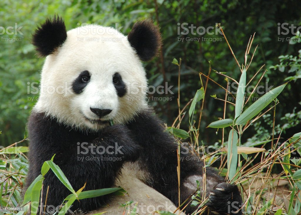 Panda bear eating leaves in China stock photo
