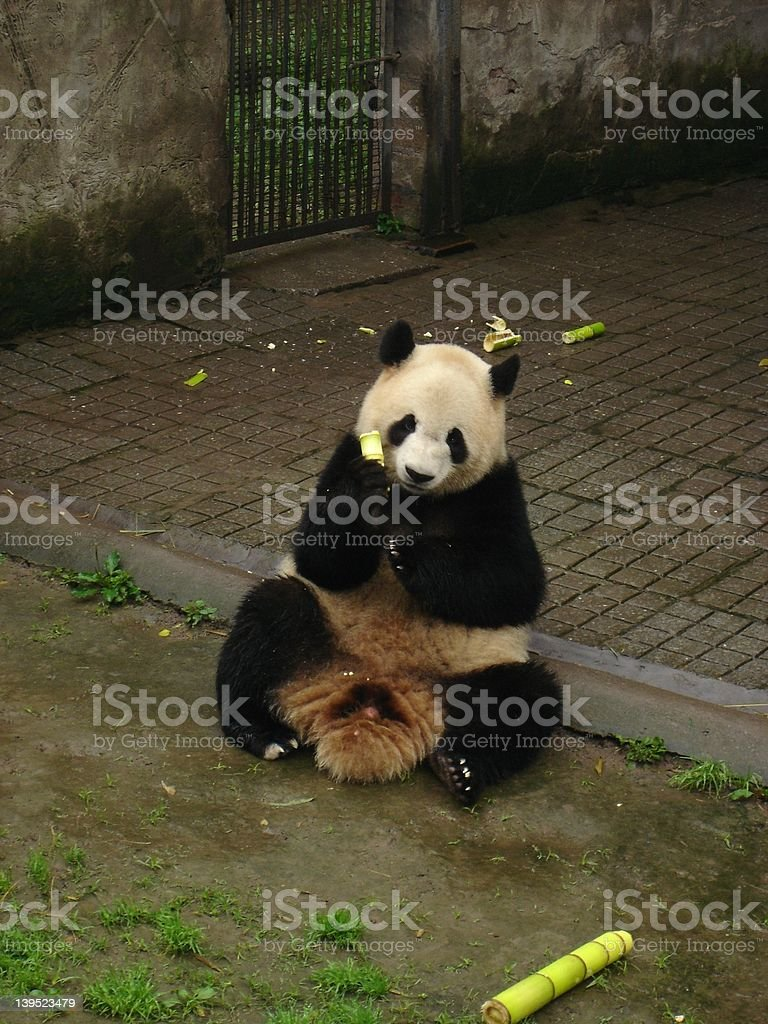 Panda Bear royalty-free stock photo