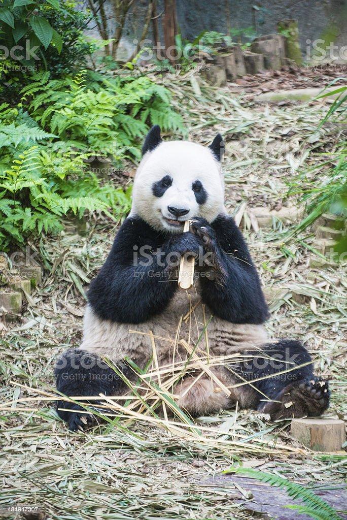panda china royalty-free stock photo