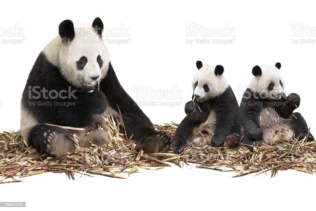 Panda family eating bamboo shoots royalty-free stock photo