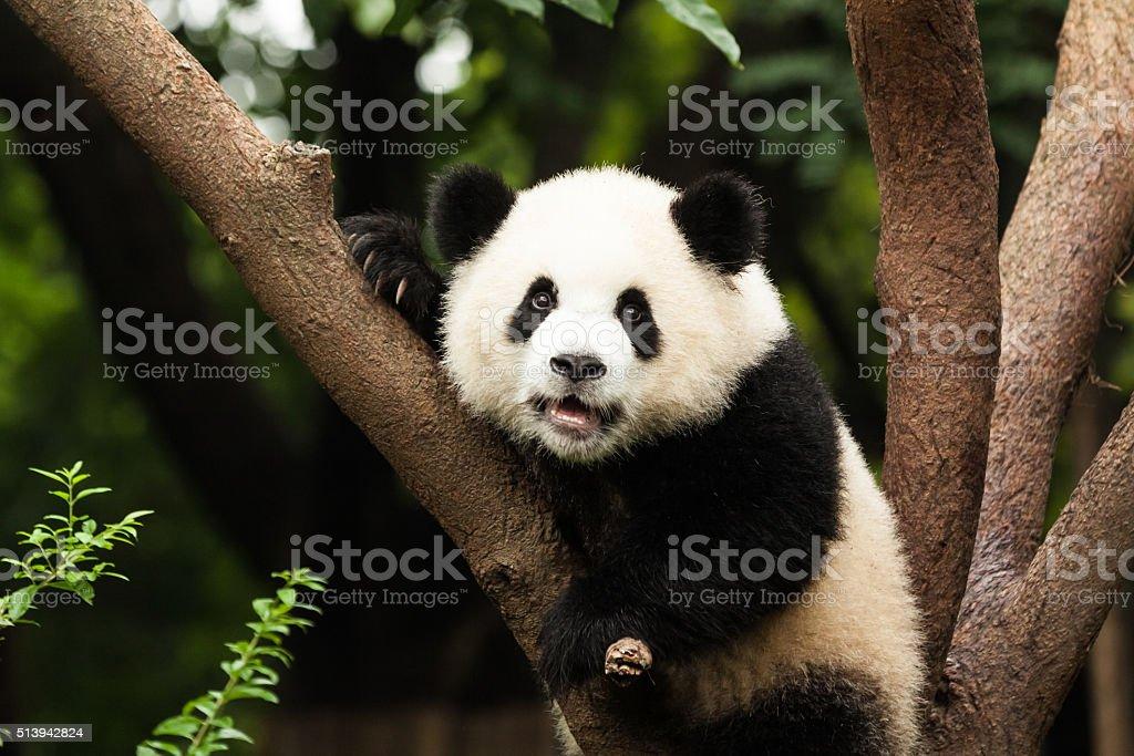 Panda in Tree stock photo