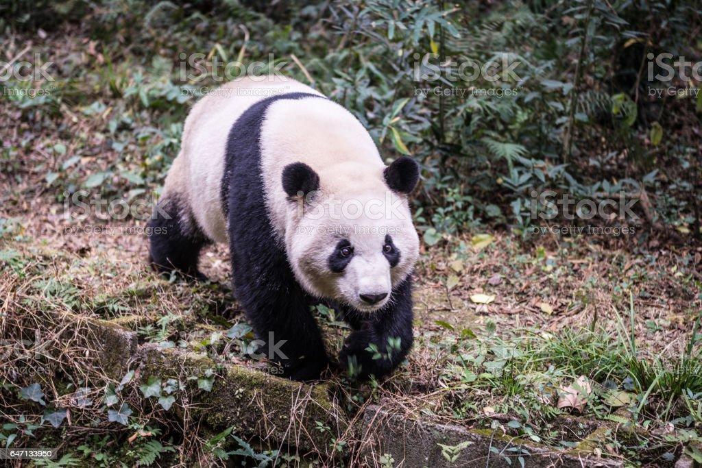 panda, photographed in China stock photo