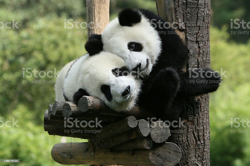 panda royalty-free stock photo