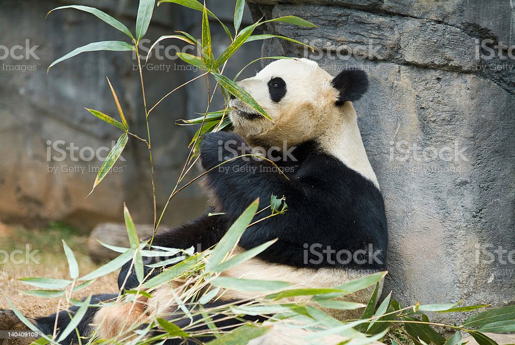 Panda relaxing and eating fresh bamboo royalty-free stock photo