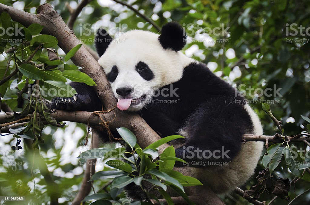 Panda with Tongue Out stock photo