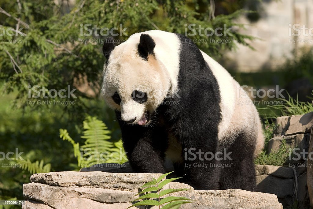 Panda Yawning stock photo