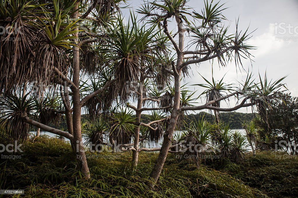 Pandanas Trees on Micronesian Island stock photo