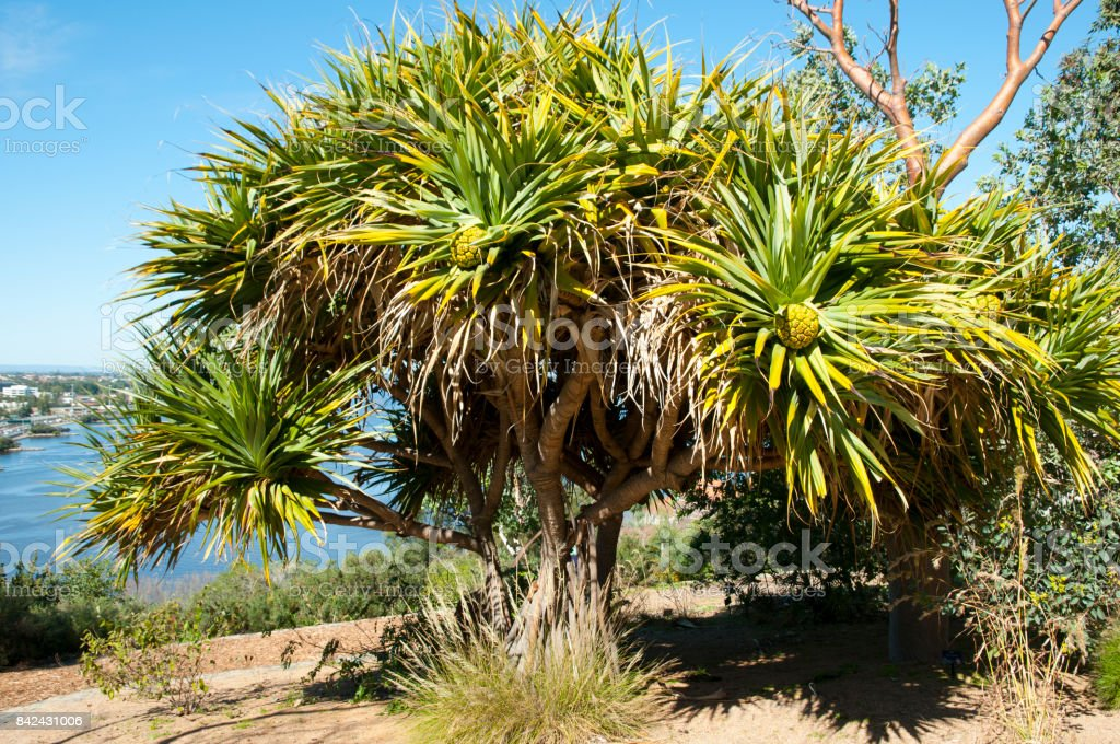 Pandanus Aquaticus Tree stock photo